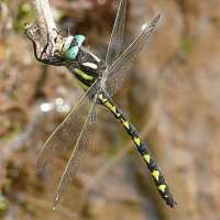 Dragonfly: Delta-spotted Spiketail